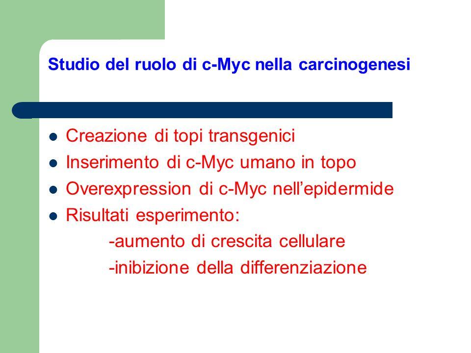 Studio del ruolo di c-Myc nella carcinogenesi