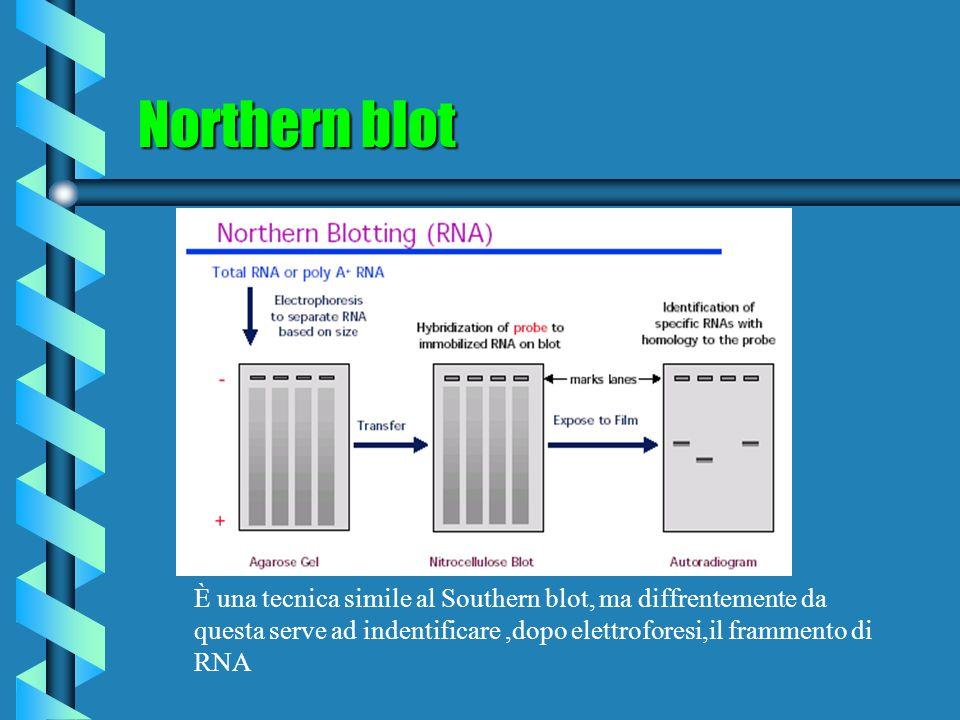 Northern blot È una tecnica simile al Southern blot, ma diffrentemente da questa serve ad indentificare ,dopo elettroforesi,il frammento di RNA.