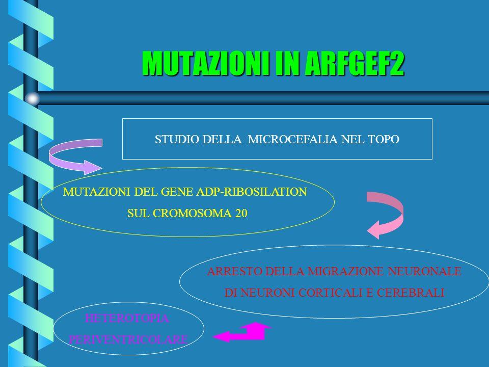 MUTAZIONI IN ARFGEF2 STUDIO DELLA MICROCEFALIA NEL TOPO