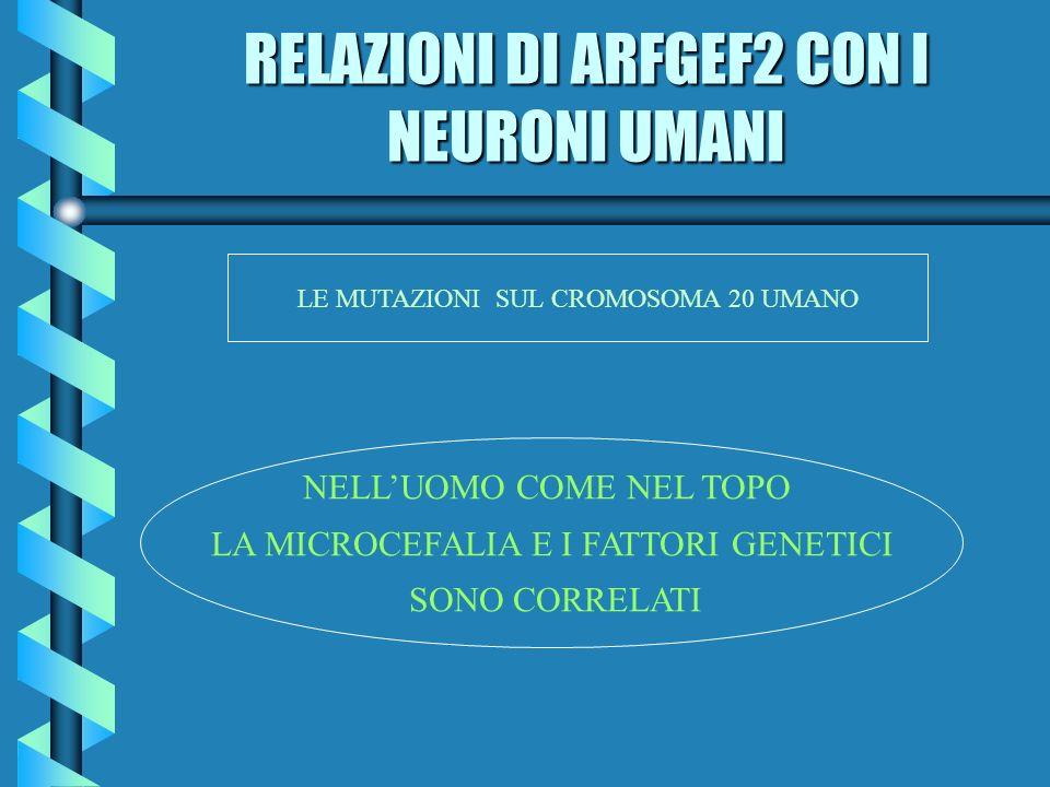 RELAZIONI DI ARFGEF2 CON I NEURONI UMANI