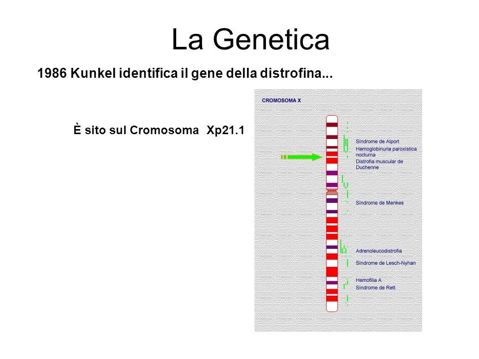 1986 Kunkel identifica il gene della distrofina...