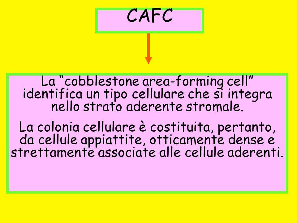 CAFC La cobblestone area-forming cell identifica un tipo cellulare che si integra nello strato aderente stromale.