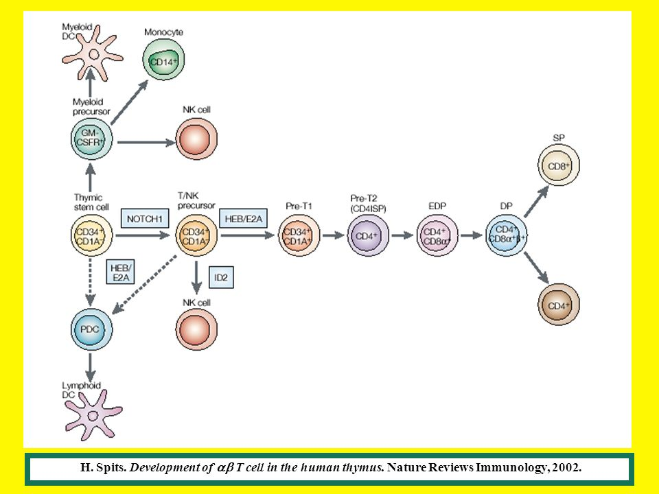 H. Spits. Development of ab T cell in the human thymus