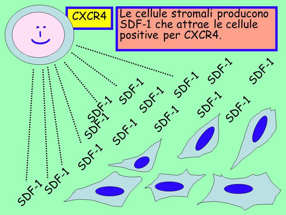 CXCR4 Le cellule stromali producono SDF-1 che attrae le cellule positive per CXCR4. :-) SDF-1. SDF-1.