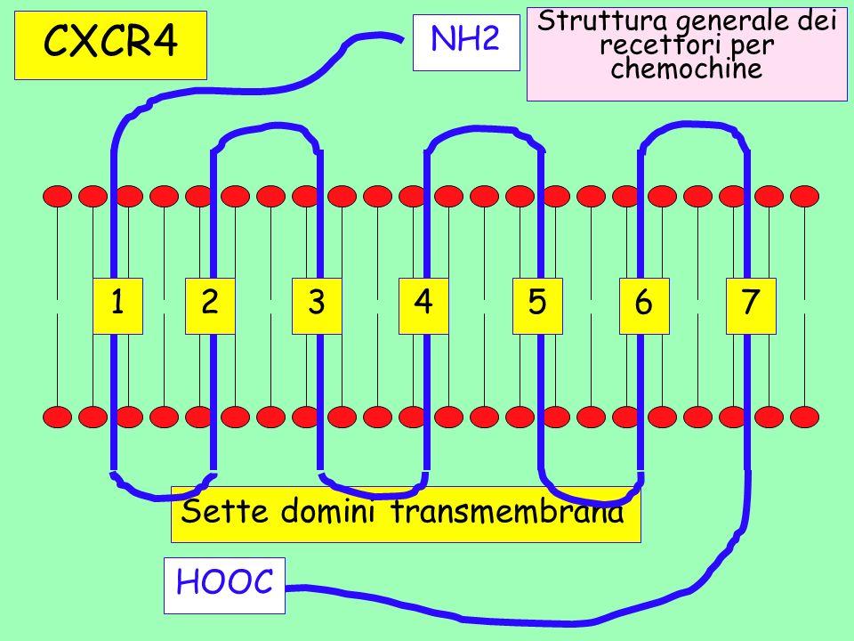 Struttura generale dei recettori per chemochine