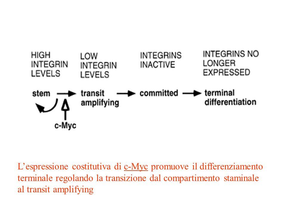 L'espressione costitutiva di c-Myc promuove il differenziamento