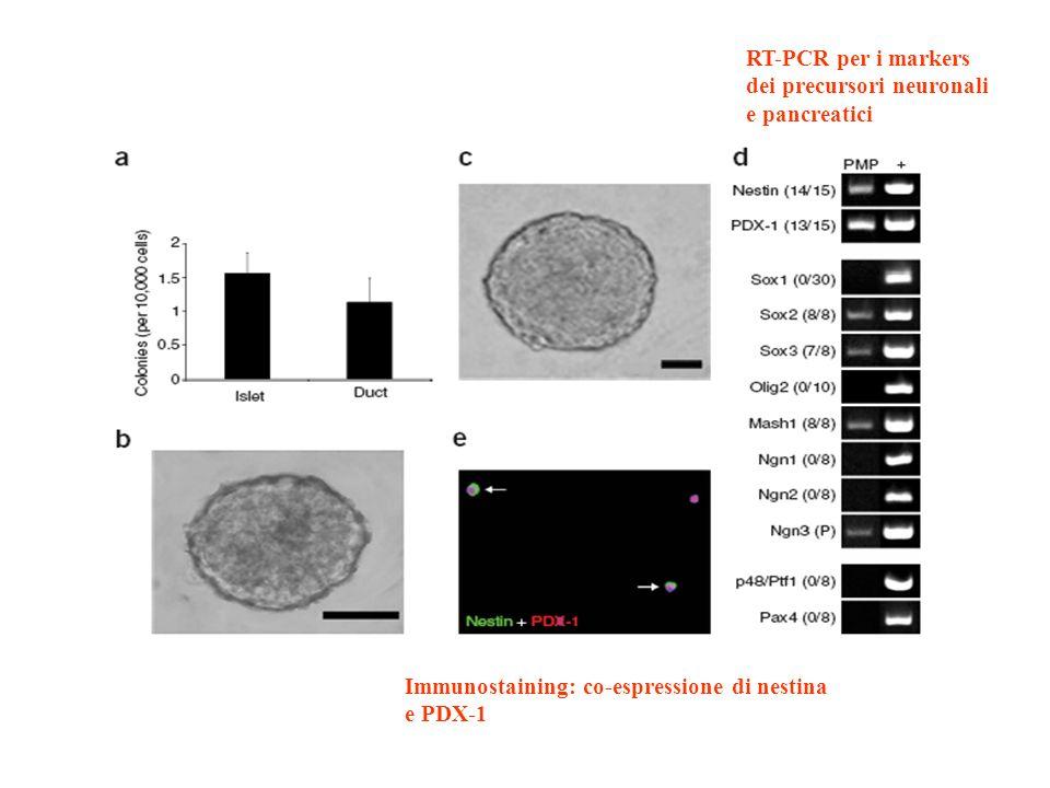 RT-PCR per i markers dei precursori neuronali. e pancreatici. Immunostaining: co-espressione di nestina.