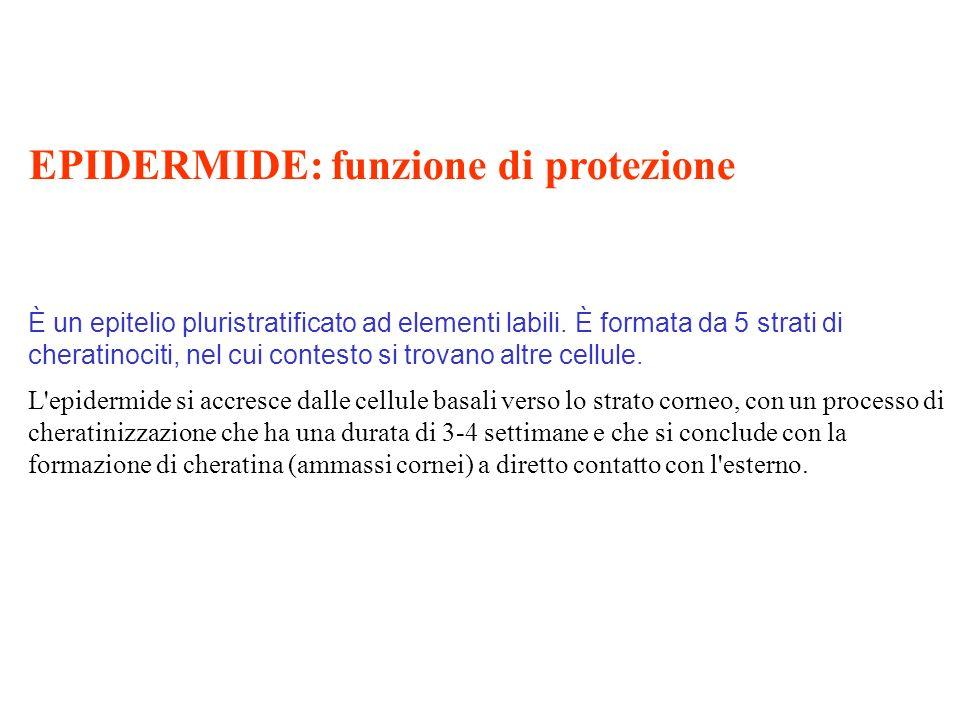 EPIDERMIDE: funzione di protezione