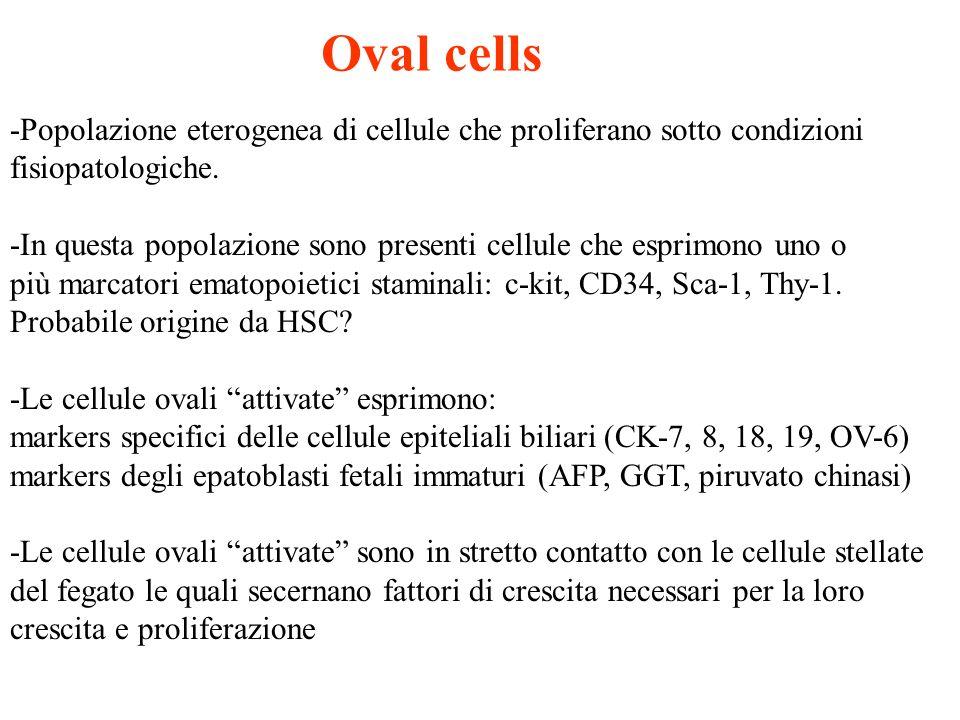 Oval cells -Popolazione eterogenea di cellule che proliferano sotto condizioni. fisiopatologiche.