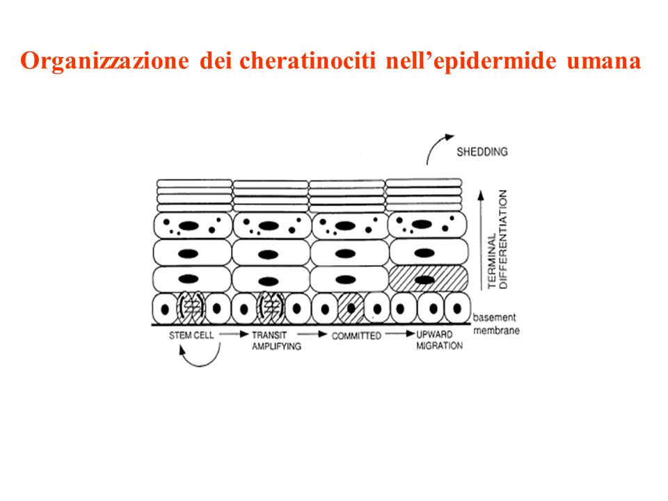 Organizzazione dei cheratinociti nell'epidermide umana