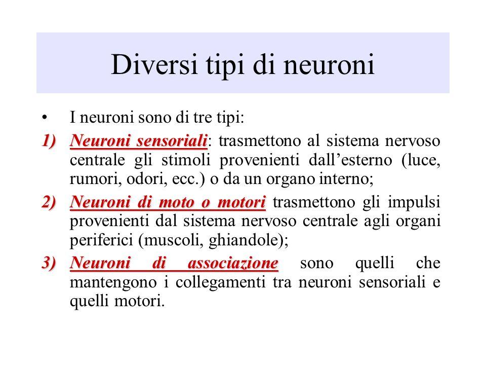 Sistema nervoso ppt video online scaricare - Diversi tipi di figa ...