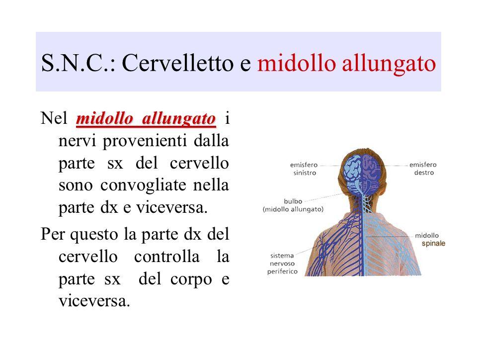 S.N.C.: Cervelletto e midollo allungato