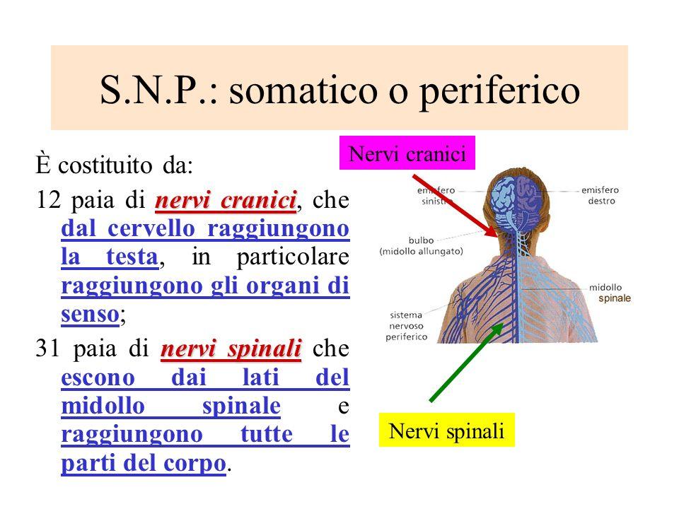 S.N.P.: somatico o periferico