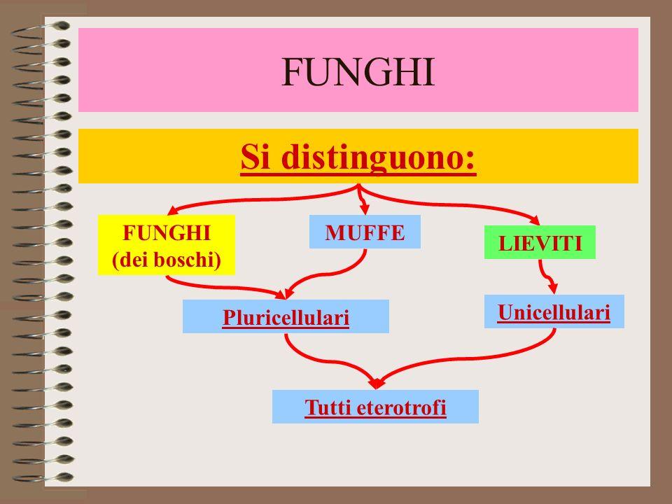FUNGHI Si distinguono: FUNGHI (dei boschi) MUFFE LIEVITI Unicellulari