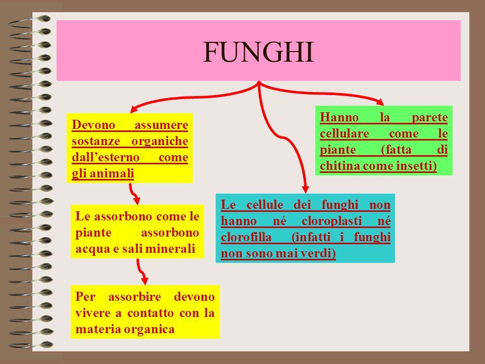 FUNGHIHanno la parete cellulare come le piante (fatta di chitina come insetti) Devono assumere sostanze organiche dall'esterno come gli animali.