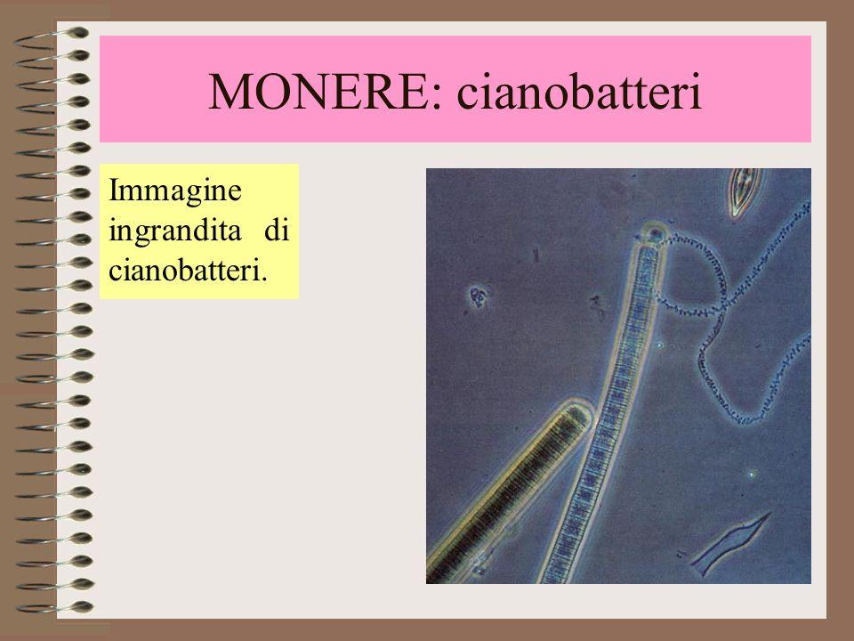 MONERE: cianobatteri Immagine ingrandita di cianobatteri.