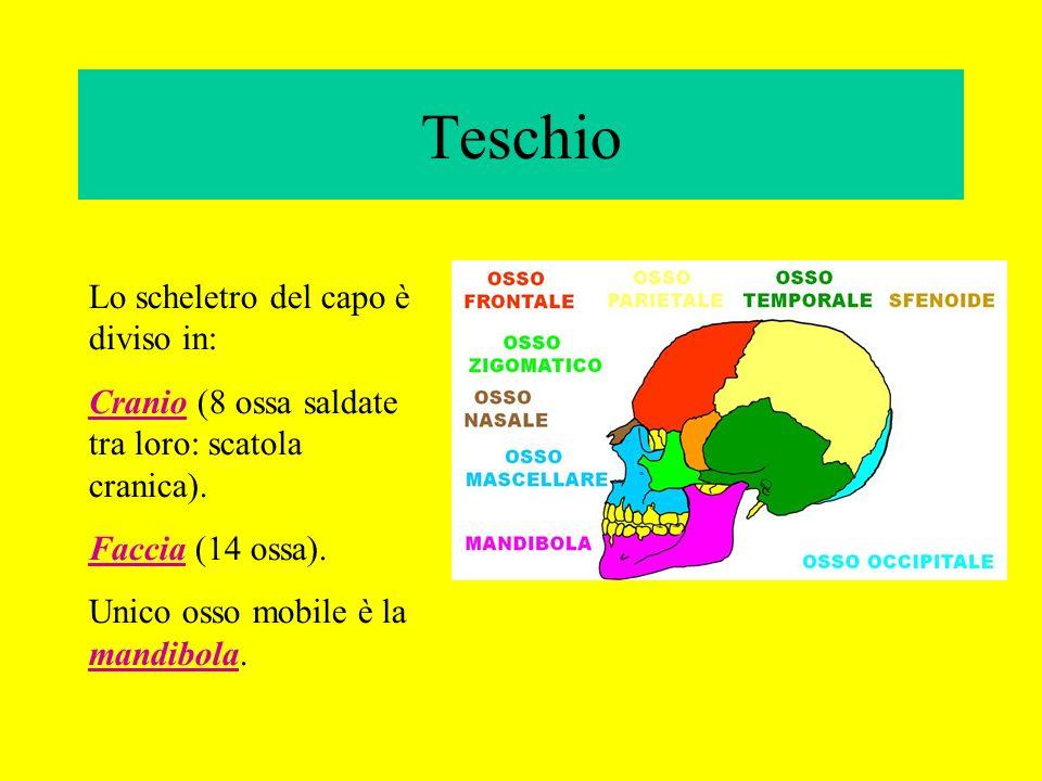 Teschio Lo scheletro del capo è diviso in: