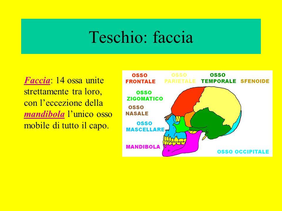 Teschio: faccia Faccia: 14 ossa unite strettamente tra loro, con l'eccezione della mandibola l'unico osso mobile di tutto il capo.