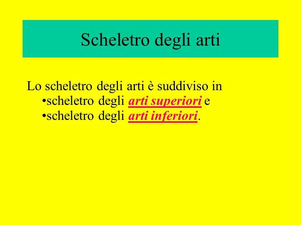 Scheletro degli arti Lo scheletro degli arti è suddiviso in