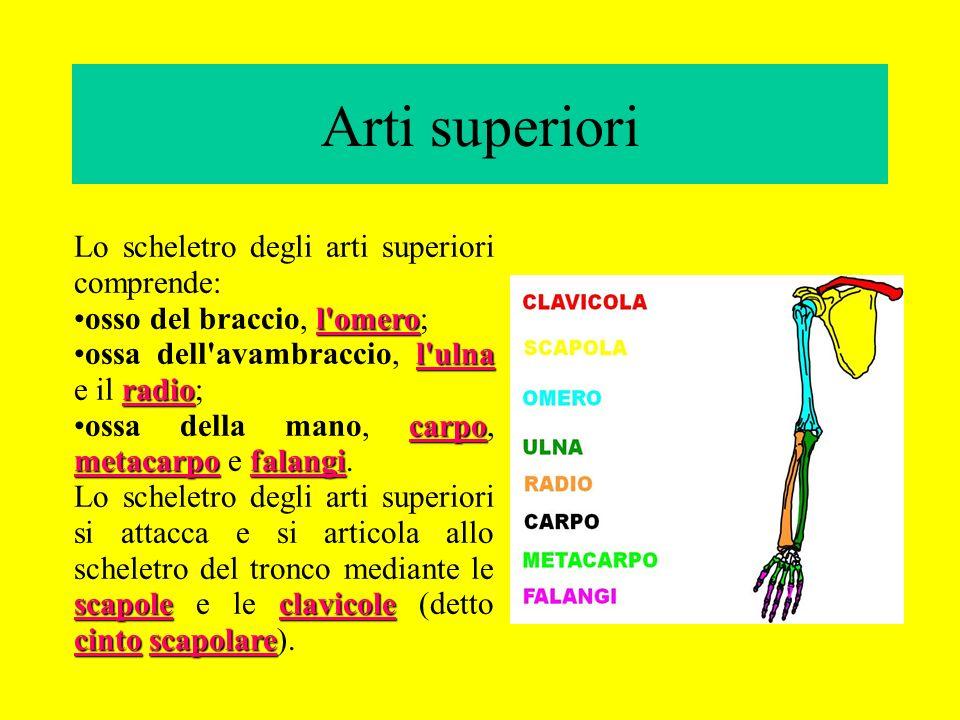 Arti superiori Lo scheletro degli arti superiori comprende: