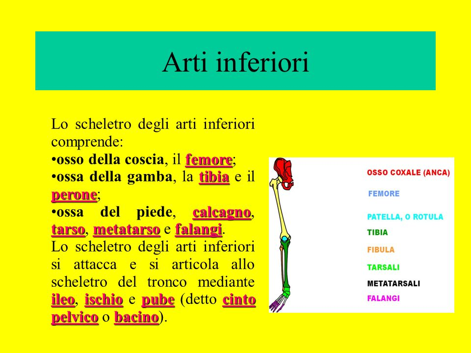 Arti inferiori Lo scheletro degli arti inferiori comprende: