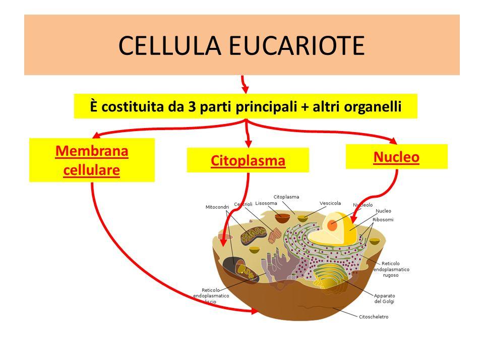 È costituita da 3 parti principali + altri organelli