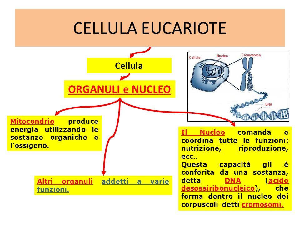 CELLULA EUCARIOTE ORGANULI e NUCLEO Cellula