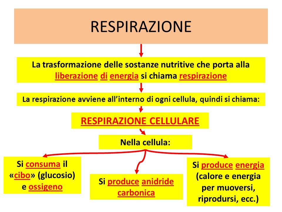 RESPIRAZIONE RESPIRAZIONE CELLULARE