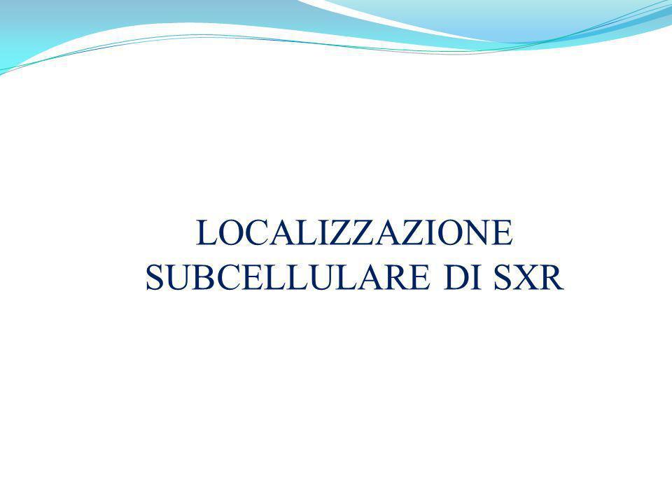 LOCALIZZAZIONE SUBCELLULARE DI SXR
