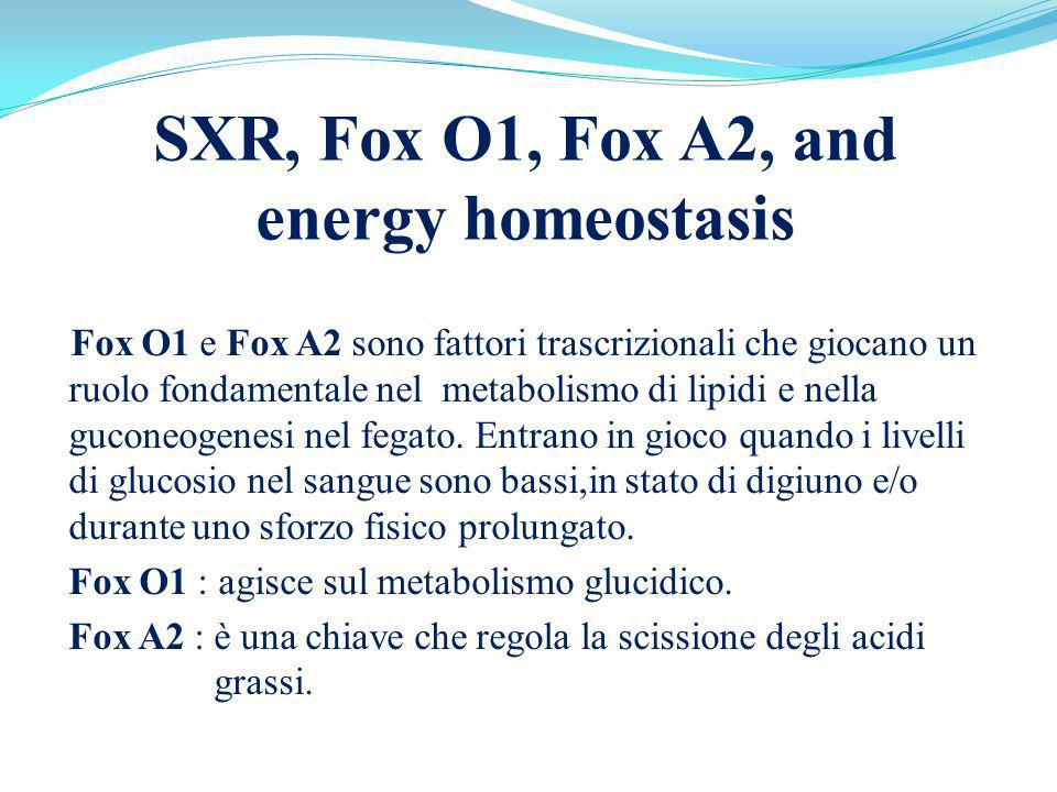 SXR, Fox O1, Fox A2, and energy homeostasis