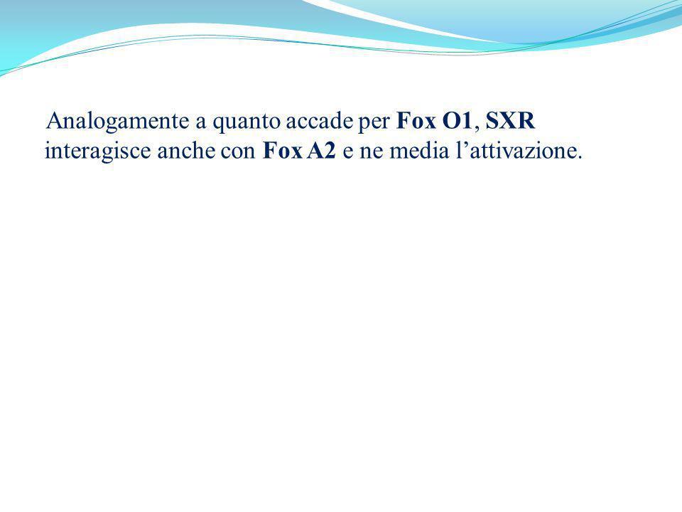 Analogamente a quanto accade per Fox O1, SXR interagisce anche con Fox A2 e ne media l'attivazione.