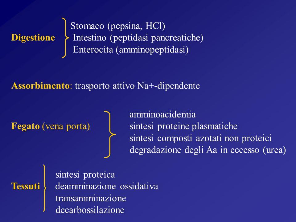 Stomaco (pepsina, HCl) Digestione Intestino (peptidasi pancreatiche) Enterocita (amminopeptidasi)