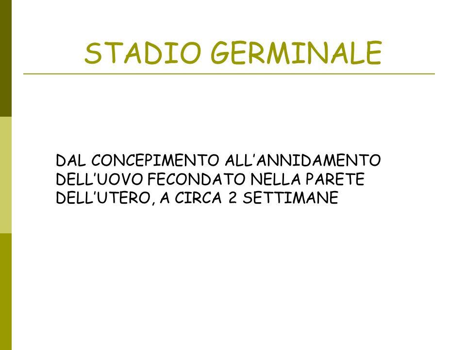 STADIO GERMINALE DAL CONCEPIMENTO ALL'ANNIDAMENTO DELL'UOVO FECONDATO NELLA PARETE DELL'UTERO, A CIRCA 2 SETTIMANE.