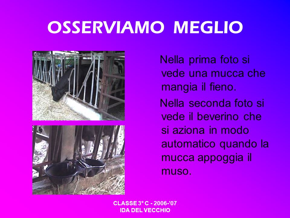 OSSERVIAMO MEGLIO Nella prima foto si vede una mucca che mangia il fieno.