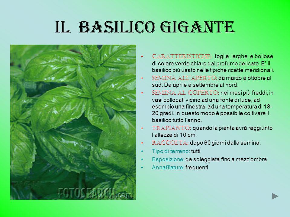 Piante aromatiche ppt scaricare for Coltivare il basilico