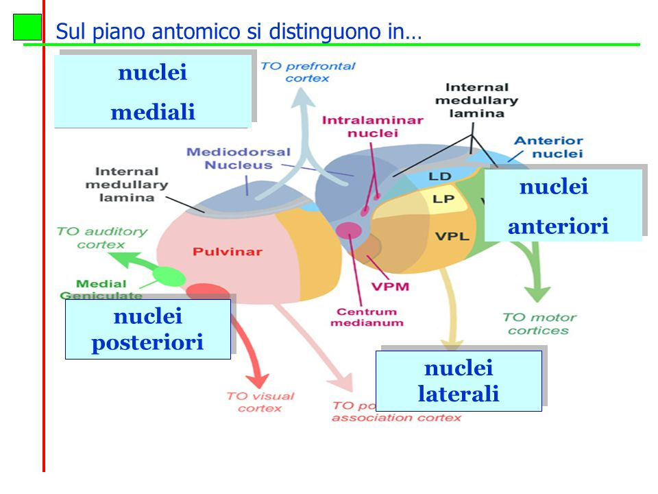 Sul piano antomico si distinguono in…