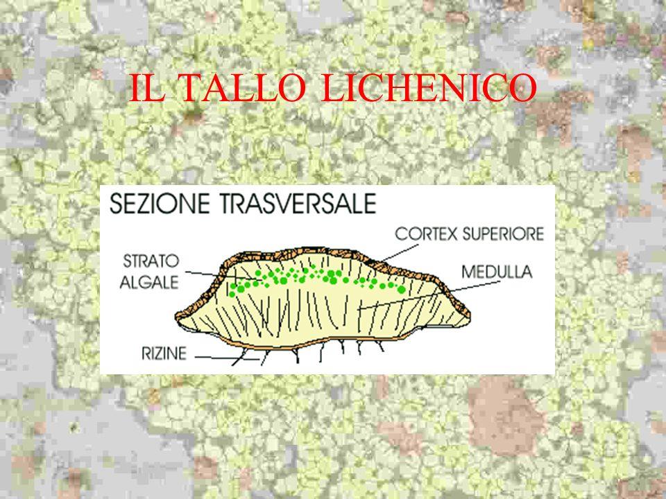 IL TALLO LICHENICO