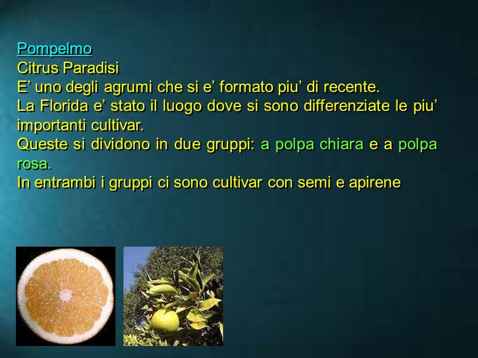 Pompelmo Citrus Paradisi. E' uno degli agrumi che si e' formato piu' di recente.