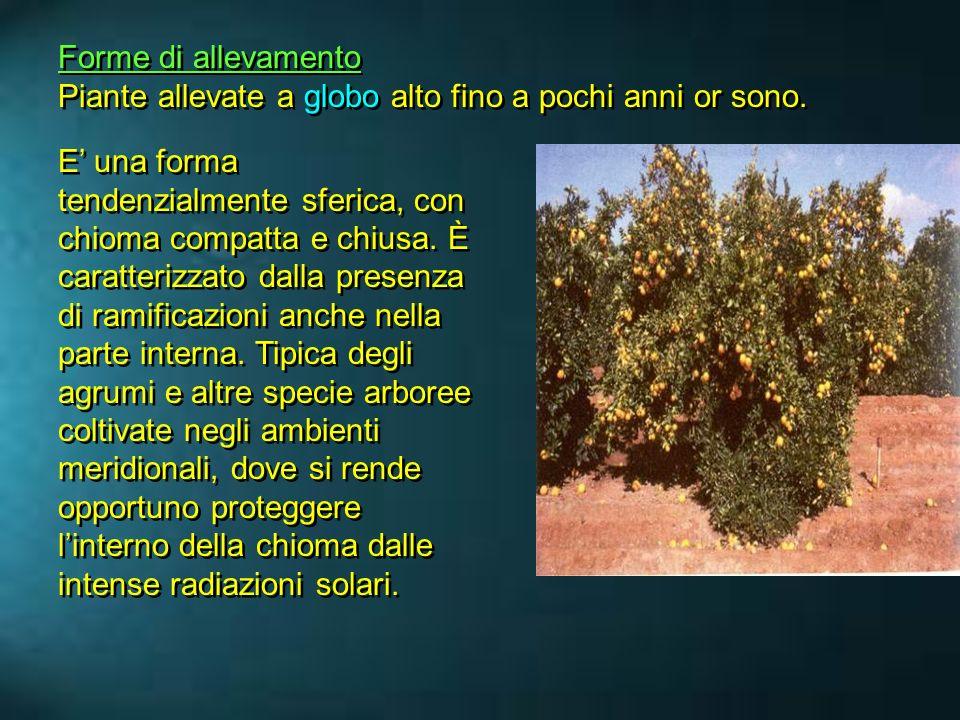 Forme di allevamento Piante allevate a globo alto fino a pochi anni or sono.