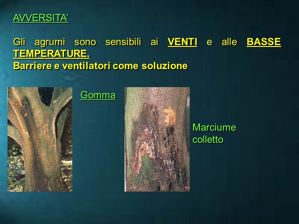 AVVERSITA' Gli agrumi sono sensibili ai VENTI e alle BASSE TEMPERATURE. Barriere e ventilatori come soluzione.