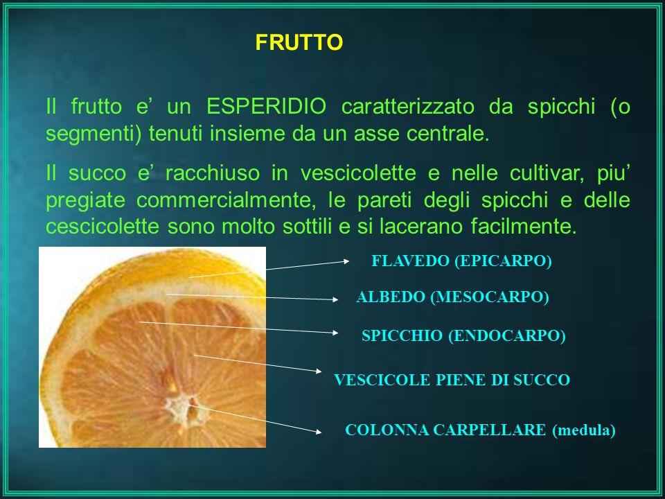 FRUTTO Il frutto e' un ESPERIDIO caratterizzato da spicchi (o segmenti) tenuti insieme da un asse centrale.