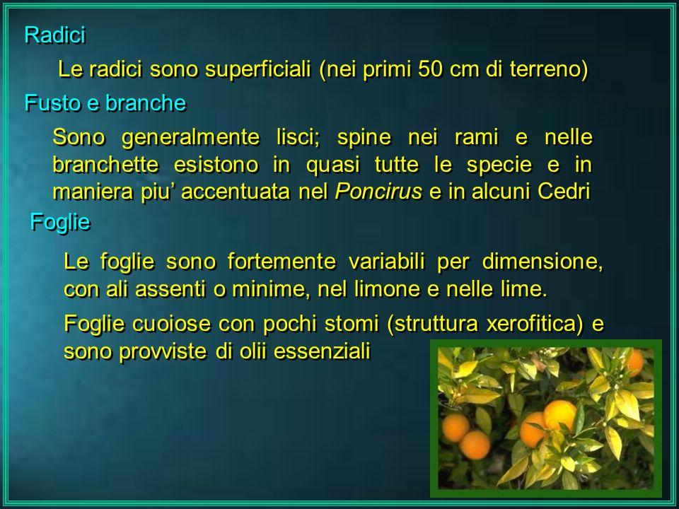 Radici Le radici sono superficiali (nei primi 50 cm di terreno) Fusto e branche.