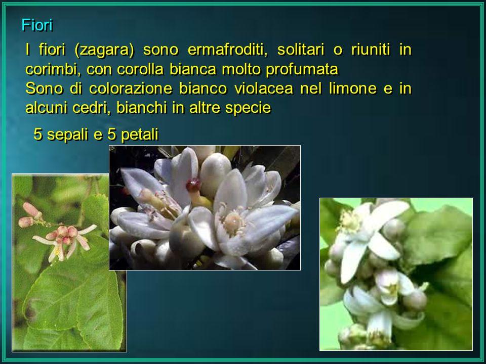 Fiori I fiori (zagara) sono ermafroditi, solitari o riuniti in corimbi, con corolla bianca molto profumata.