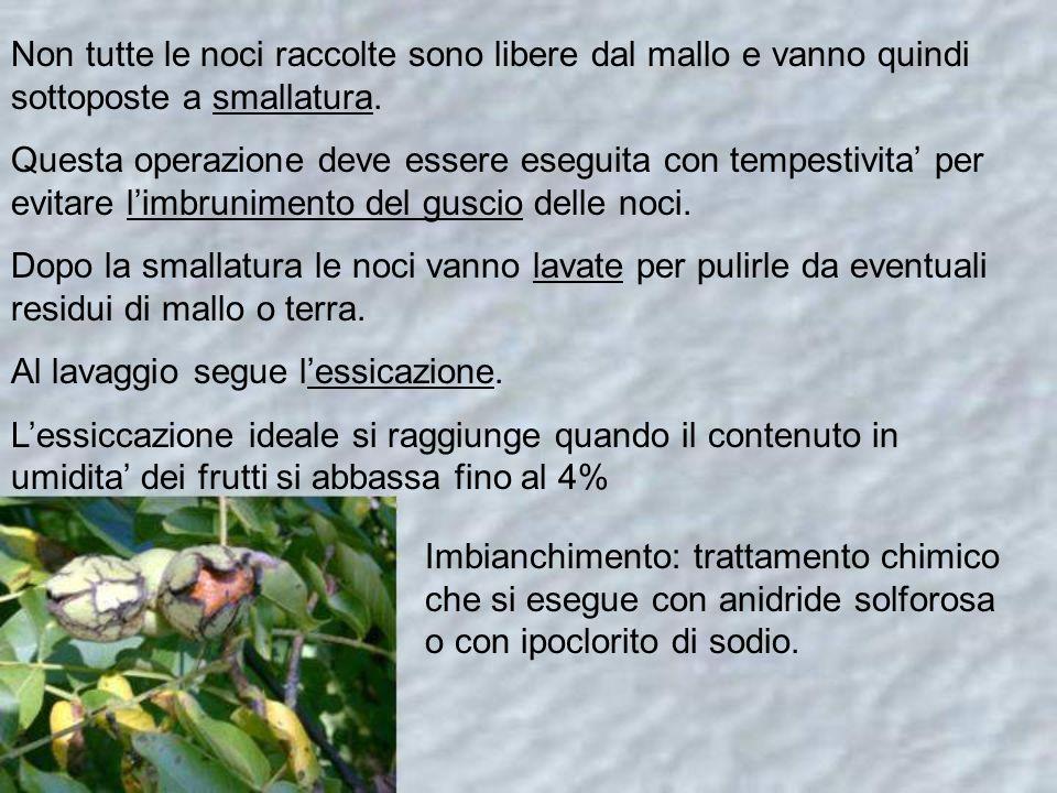 Non tutte le noci raccolte sono libere dal mallo e vanno quindi sottoposte a smallatura.