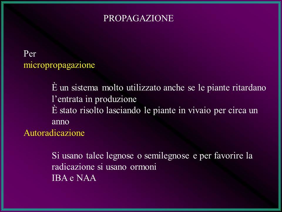 PROPAGAZIONE Per. micropropagazione. È un sistema molto utilizzato anche se le piante ritardano l'entrata in produzione.