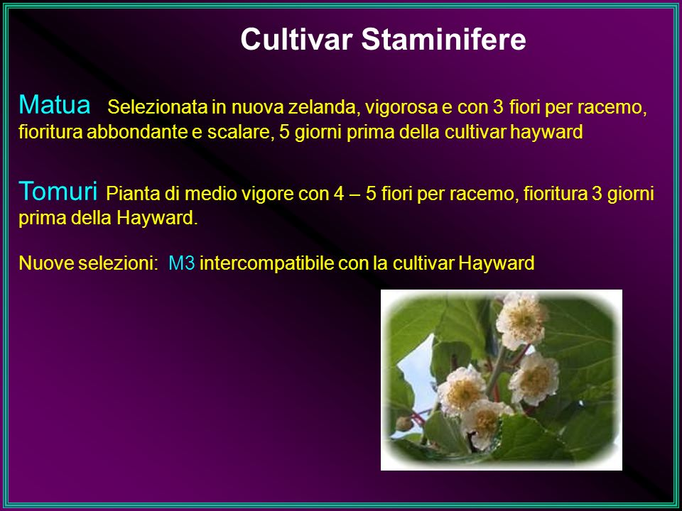 Cultivar Staminifere