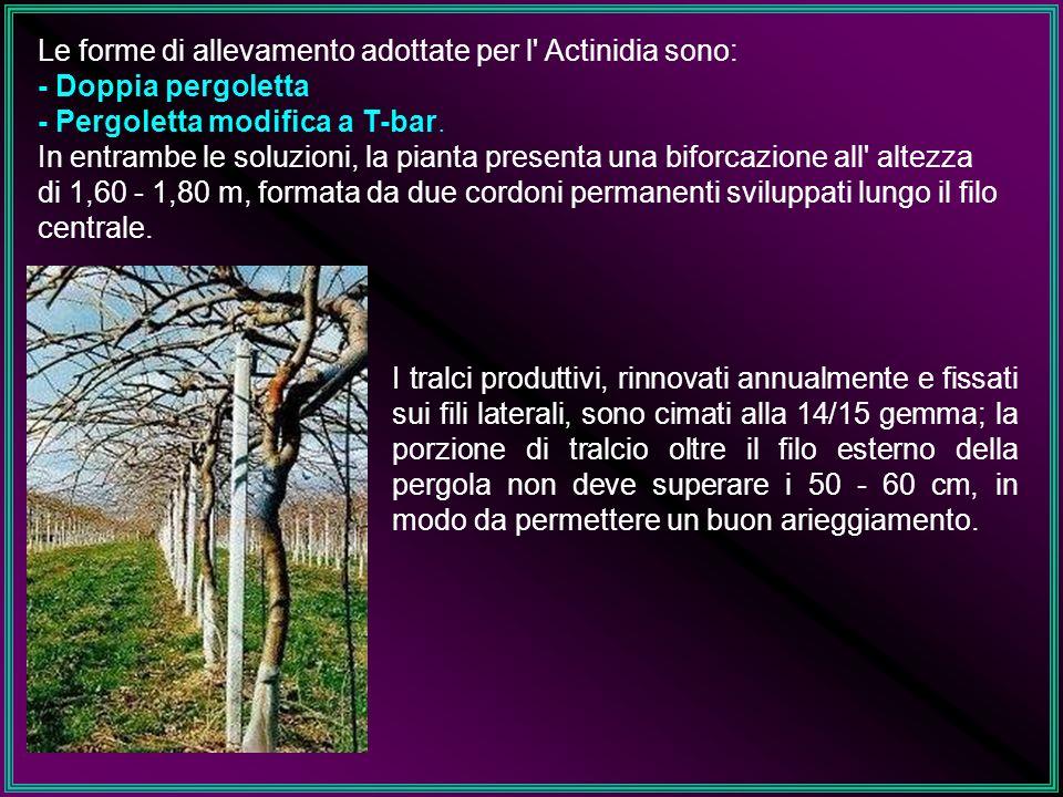 Le forme di allevamento adottate per l Actinidia sono: - Doppia pergoletta - Pergoletta modifica a T-bar. In entrambe le soluzioni, la pianta presenta una biforcazione all altezza di 1,60 - 1,80 m, formata da due cordoni permanenti sviluppati lungo il filo centrale.