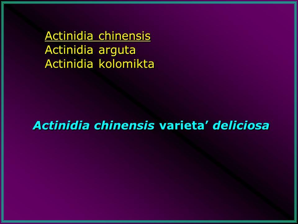 Actinidia chinensis Actinidia arguta Actinidia kolomikta Actinidia chinensis varieta' deliciosa