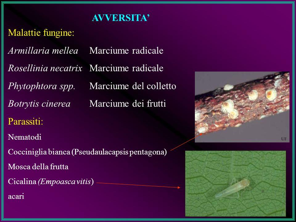AVVERSITA' Malattie fungine: Armillaria mellea Rosellinia necatrix