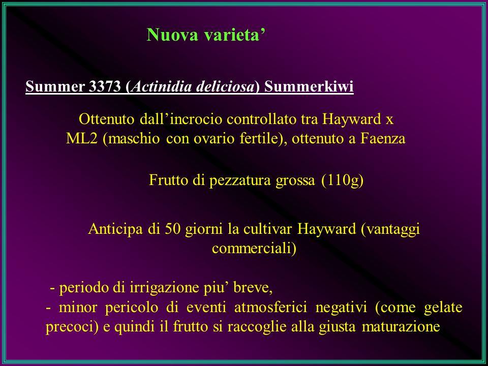 Nuova varieta' Summer 3373 (Actinidia deliciosa) Summerkiwi